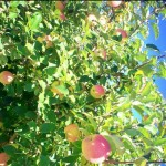 apple-trees-blue-sky