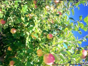 apple-trees-blue-sky