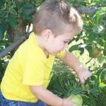 little-boy-picking-green-apple