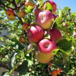 pink_lady_apple_tree-image2