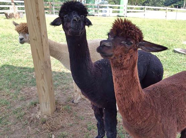 Farm-Animals-Alpacas760x564